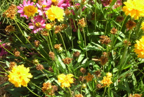 Coreopsis and zinna flowers to attract bees and other beneficial insects Oakland Voices/Debora Gordon October 2012
