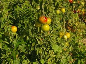 My Neighborhood- Tomatoes