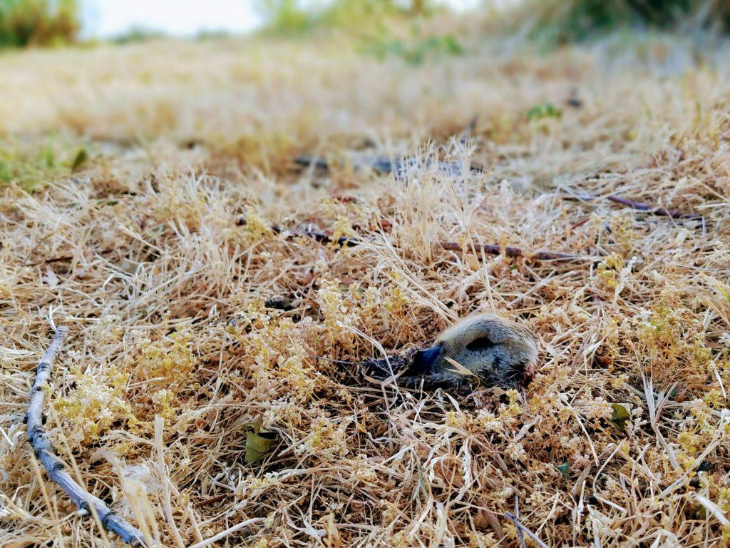 duckling falls prey near lake merritt